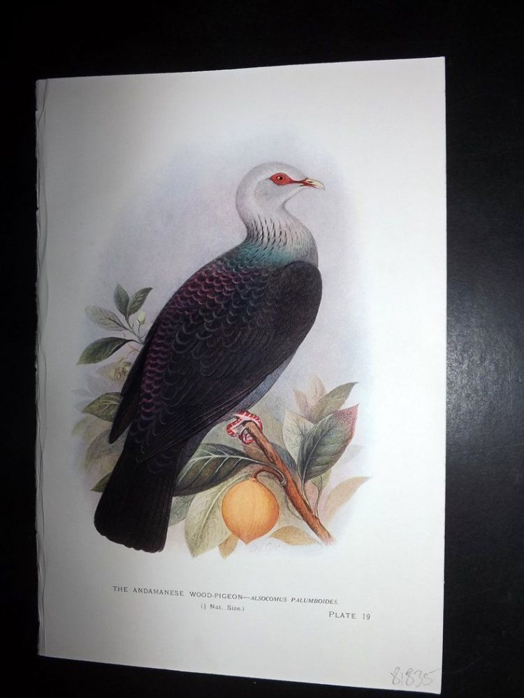 Baker & Gronvold Indian Pigeons & Doves 1913 Print  Adamanese Wood